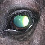 Ein Pferd mit Equiner Rezidivierender Uveitis (Periodische Augenentzündung). Durch die innere Augenentzündung ist der Glaskörper grünlich getrübt und enthält Einlagerungen.