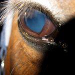 Ein gesundes Auge, bei dem die Pupille etwas herzförmig ist.