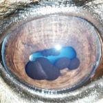Die Traubenkörner sind bei diesem Pferd durch eine vermehrte Füllung zystisch vergrößert.
